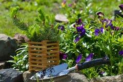 Świerkowa rozsada ogródu łopata Obraz Stock