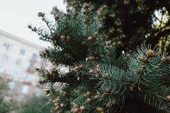 Świerkowa zieleń rozgałęzia się na tle obrazy royalty free