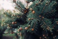 Świerkowa zieleń rozgałęzia się z rożkami obraz royalty free