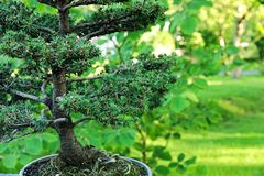 Świerkowi bonsai Zdjęcie Stock