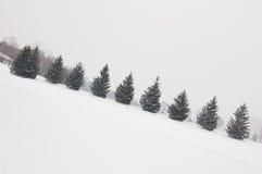świerkowi drzewa zdjęcie royalty free
