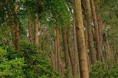 Świerkowi drzewni bagażniki i bujny zieleni krzaki, szczegół las w Flandryjskim zdjęcia stock