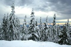 świerkowi objętych śnieżni drzewa Fotografia Stock