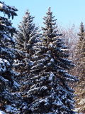 świerkowi objętych śnieżni drzewa Obraz Royalty Free