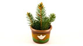 Świerkowy drzewny dorośnięcie w malutkim garnku Obraz Royalty Free