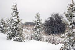 świerkowy drzewo zdjęcie royalty free