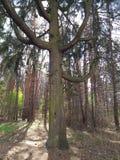Świerkowy drzewo bagażnik stary możny drzewo z wielkimi bocznymi gałąź obraz royalty free