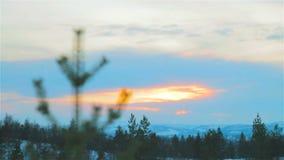 Świerkowy drzewo Na zmierzchu zbiory wideo