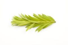 Świerkowy drzewo zielony krótkopęd Zdjęcia Stock