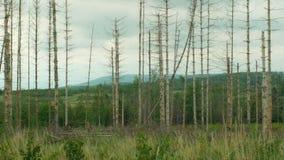Świerkowy korowatej ścigi zarazy Ips typographus, świerkowi lasy atakująca susza, atakująca Europejską wyraźną klęską zbiory wideo