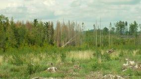 Świerkowy korowatej ścigi zarazy Ips typographus, świerkowi lasy atakująca susza, atakująca Europejską wyraźną klęską zdjęcie wideo