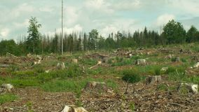 Świerkowy korowatej ścigi zarazy Ips typographus, świerkowi lasy atakująca susza, uprawiana mała drzewo rozsada, atakująca zbiory