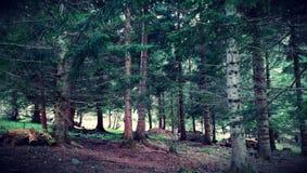 Świerkowy las obraz stock
