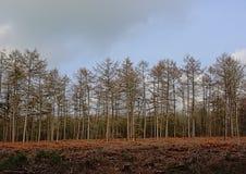 Świerkowy las w Flamandzkiej wsi fotografia stock