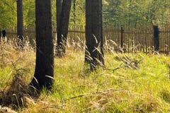 Świerkowy las z drewnianym ogrodzeniem Obraz Stock