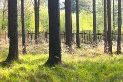 Świerkowy las z drewnianym ogrodzeniem Zdjęcie Stock