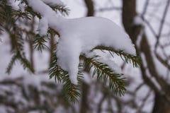 Świerkowy sprig kropiący z śniegiem Zdjęcie Royalty Free