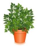 świerząbka kwiatu świeży zielarski garnek Zdjęcia Royalty Free
