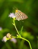 Świetlicowy silverline motyl Zdjęcie Royalty Free