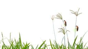Świetlika tyczenie na trawa kwiacie odizolowywa na białym tle Obrazy Royalty Free