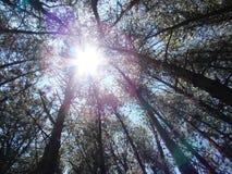 Świetlistość między wierzchołkami drzewa fotografia stock