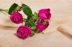 Świetne różowe róże Obraz Stock