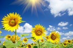 świetni zabawy nieba słońca słoneczniki Obraz Stock