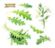 Świezi Arugula liście, kwiaty i wiązka odizolowywający na białej akwareli ilustraci, Obraz Royalty Free