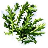 Świezi arugula rucola liście odizolowywający Obrazy Stock
