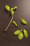 Świezi basilów liście Obraz Stock