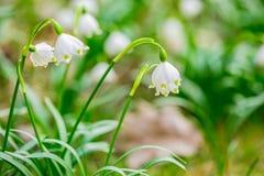 Świezi biali i żółci wiosny płatek śniegu kwiaty zdjęcia stock