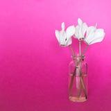 Świezi biali kwiaty w małej butelce na różowym tle Obrazy Royalty Free