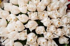 Świezi biali tulipany z zielonym liść natury wiosny tłem Kwiat tekstura Obraz Stock