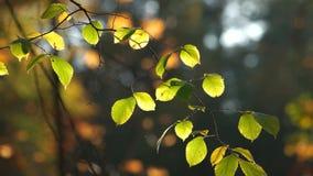 Świezi brzoza liście w słonecznych promieniach zbiory wideo