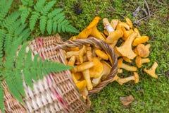 Świezi chanterelles one rozrastają się w koszu rozpraszającym w lesie outdoors Obrazy Royalty Free