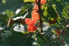 Świezi czerwoni agresty na gałąź agrestowy krzak Fotografia Stock