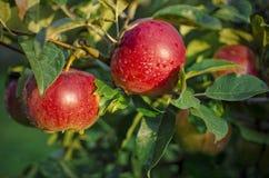 Świezi czerwoni jabłka Fotografia Stock