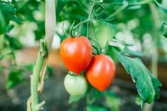 Świezi dojrzali naturalni pomidory w ogródzie zdjęcia royalty free