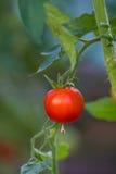 Świezi dojrzali pomidory na gałąź w szklarni Fotografia Royalty Free