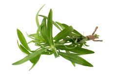 Świezi estragonowi ziele, Estragonowi ziele zamykają w górę odosobnionego na bielu Zdjęcie Royalty Free