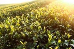 Świezi herbaciani liście na ranku obrazy royalty free