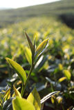 Świezi herbaciani liście na ranku zdjęcia royalty free