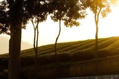 Świezi herbaciani liście na ranku. Herbaciane plantacje zdjęcie stock
