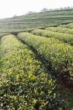Świezi herbaciani liście na ranku. Herbaciane plantacje zdjęcia stock