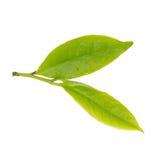 Świezi herbaciani liście odizolowywający na białym tle Zdjęcie Stock