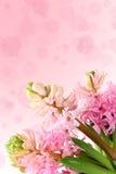 Świezi hiacynty na różowym tle Obraz Stock
