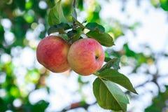 Świezi jabłka na jabłoniach zdjęcie stock