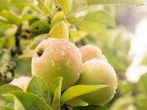 Świezi jabłka zakrywający podeszczowymi kroplami na jabłoni z zielonymi liśćmi obraz stock
