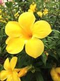 Świezi kolorów żółtych kwiaty zdjęcia stock