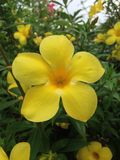 Świezi kolorów żółtych kwiaty Zdjęcia Royalty Free
